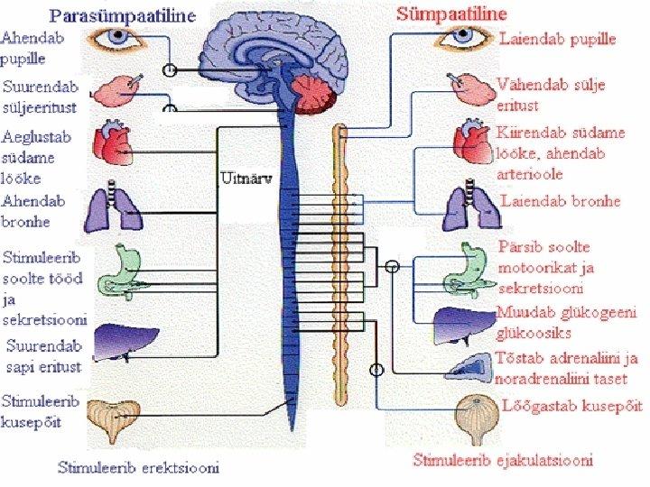 parasumpaatiline narvisusteem ja kaalulangus ilu valikud 3 in 1 slimming machine