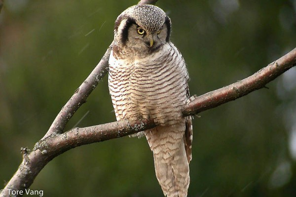 owl on jumala kaalulangus parim fookus rasva poleti